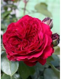 róże rabatowe red leonardo
