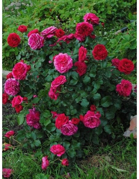 Red Leonardo róze rabatowe