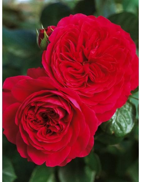 Red Leonardo rabatowe róze