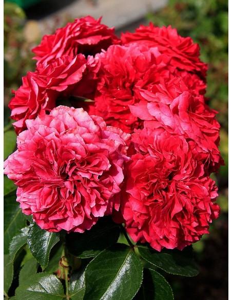 Rabatowe Róże Red Leonardo