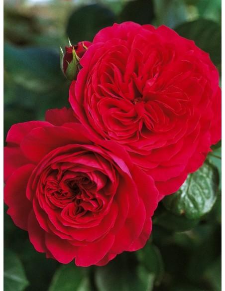Czerwone Roze Rabatowe Red Leonardo
