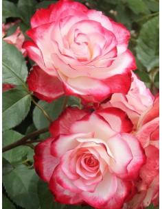 róże rabatowe Monaco