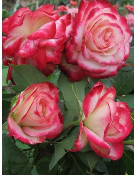 Monaco róze rabatowe
