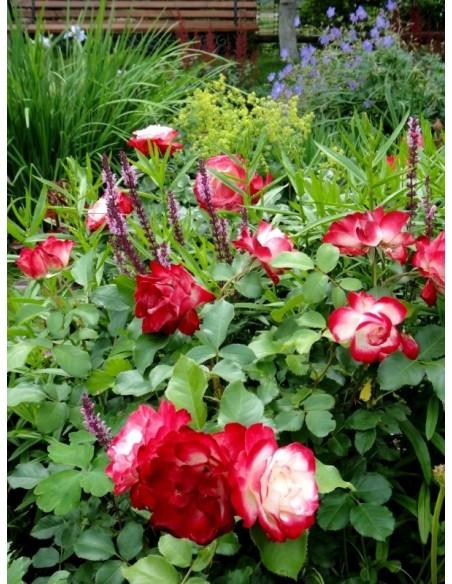 Monaco wielobarwne róże rabatowe
