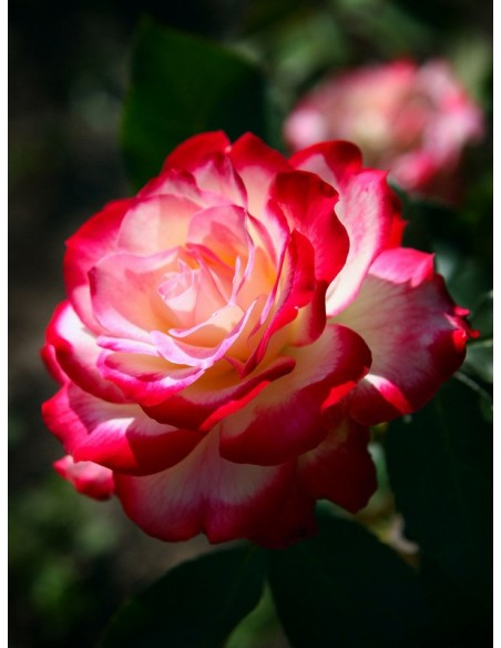 wielobarwne róże rabatowe Monaco