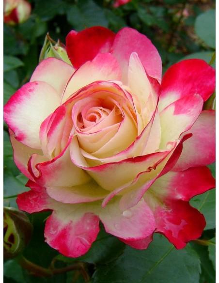róża rabatowa Monaco