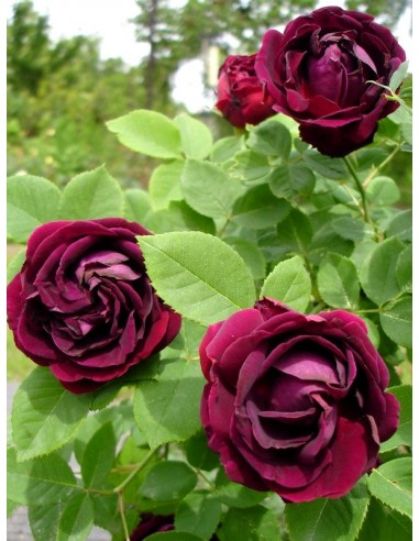 róże historyczne Tuscany Superb
