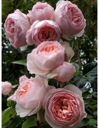 angielskie róże heritage