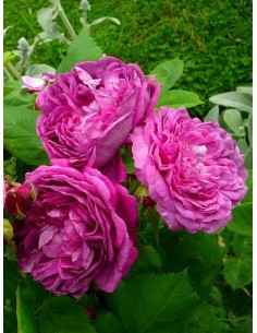 parkowe róże historyczne Reine des Violettes