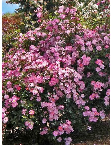 róze okrywowe Lavender Dream