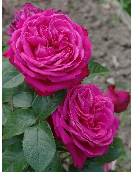 Roze Wielkokwiatowe Old Fragrance