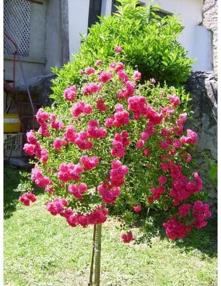 excelsa roza