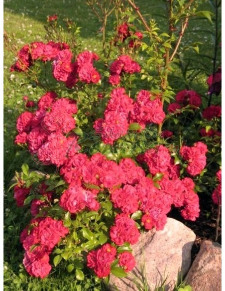 red fairy czerwone róże okrywowe
