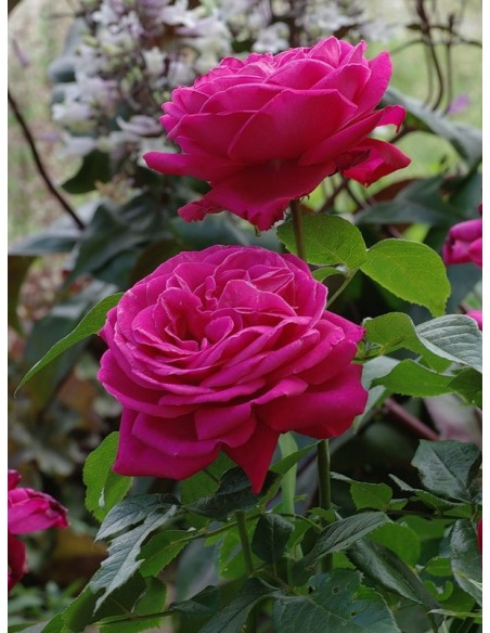 Old Fragrance Wielkokwiatowe Roze