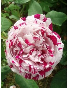 róże historyczne variegata di bologna