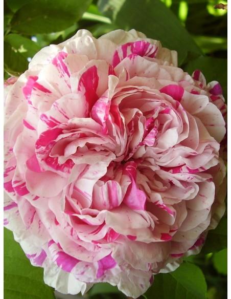 variegata di bologna - róże historyczne