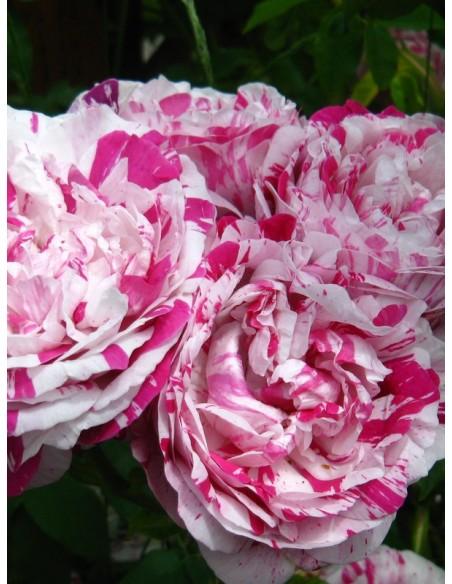 wielobarwne róże historyczne variegata di bologna