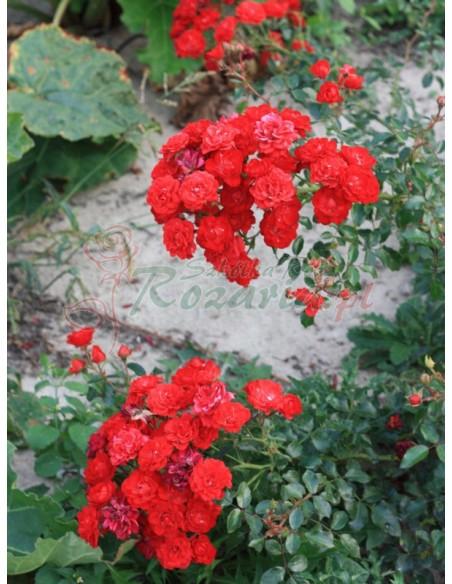 czerwone róże okrywowe Red Fairy