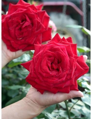 Róże wielkokwiatowe Ingrid Bergman