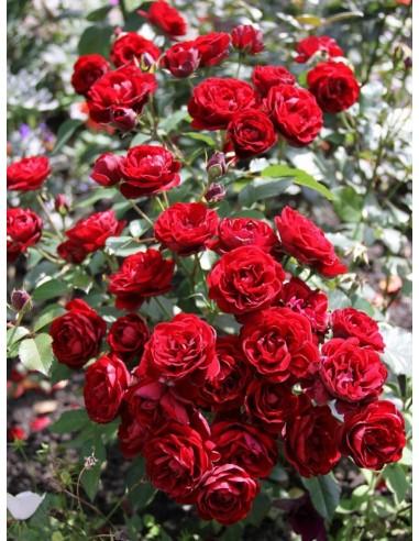 bordowe róże rabatowe Lavaglut