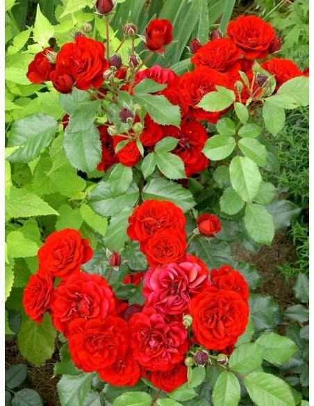 Lavaglut bordowe róże rabatowe
