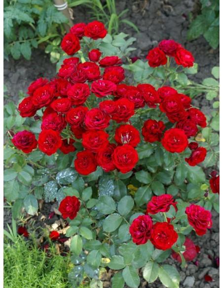 bordowa Lavaglut róże rabatowe