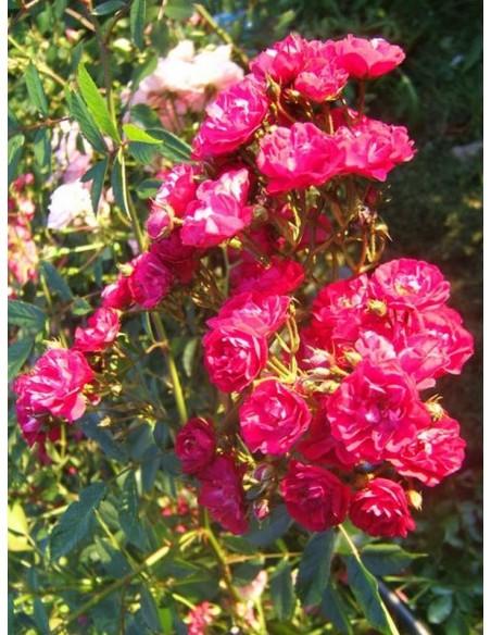 red fairy okrywowe róże