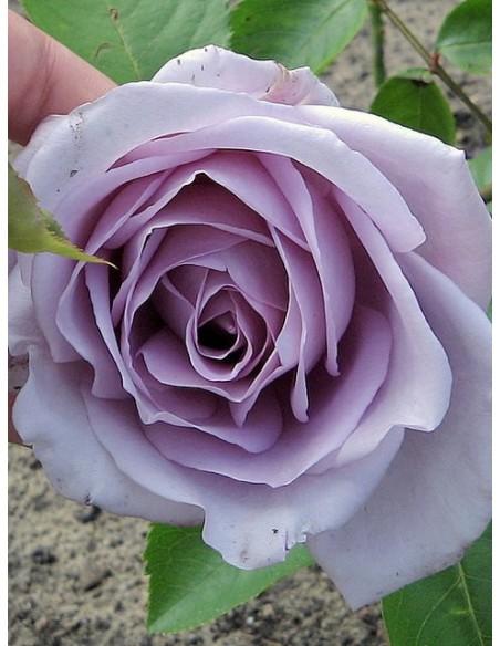 niebieskia róża wielkokwiatowa Mainzer Fastnacht
