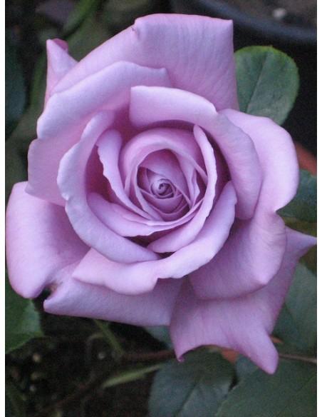 Mainzer Fastnacht niebieskie róże wielkokwiatowe