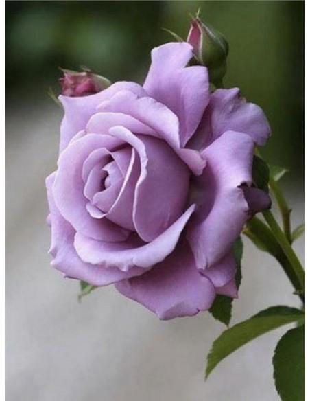 Mainzer Fastnacht niebieskie roze wielkokwiatowe
