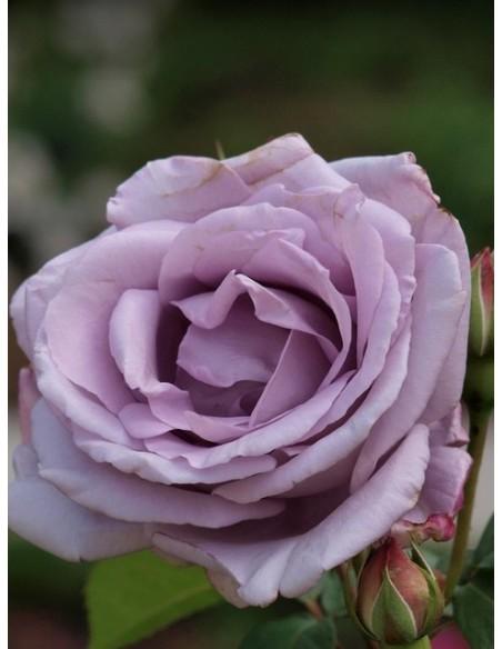 Mainzer Fastnacht niebieskia róża wielkokwiatowa