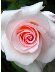 róże wielkokwiatowe Flamingo