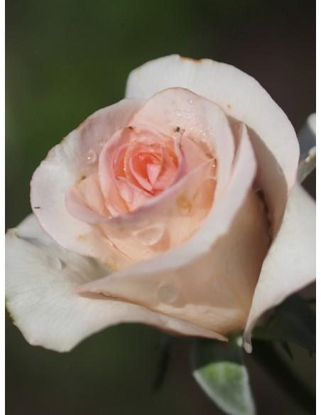 różowe roze wielkokwiatowe flamingo