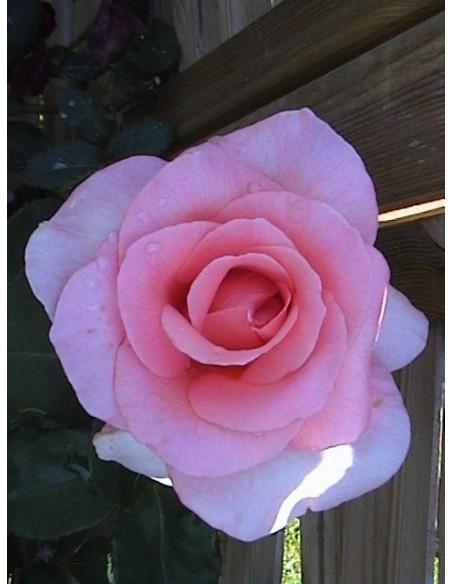 różowe wielkokwiatowe roze flamingo