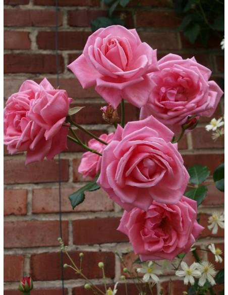 pnące róże Coral Dawn