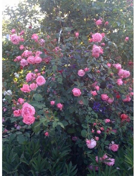 róże pnące Coral Dawn