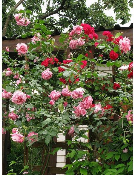 Róże pnace Coral Dawn