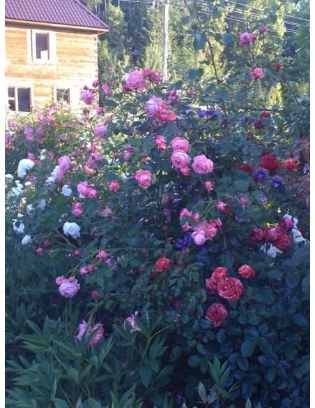 Coral Dawn róże pnące