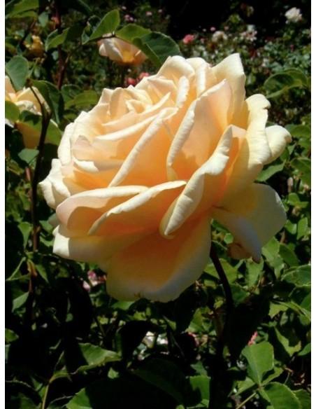 róże wielkokwiatowe Diamond Jubilee