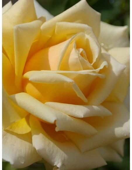 diamond jubilee róże łososiowe wielkokwiatowe