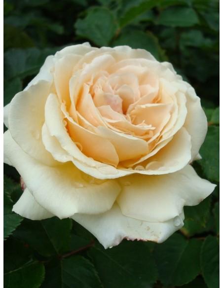 wielkokwiatowe róże diamond jubilee