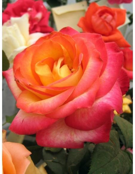 Alinka - herbaciane róże wielkokwiatowe