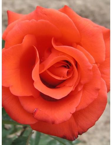 pomaranczowe róże wielkokwiatowe Lady Rose