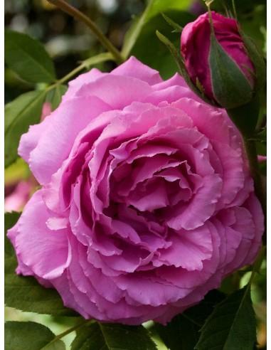 róże historyczne Mrs. John Laing