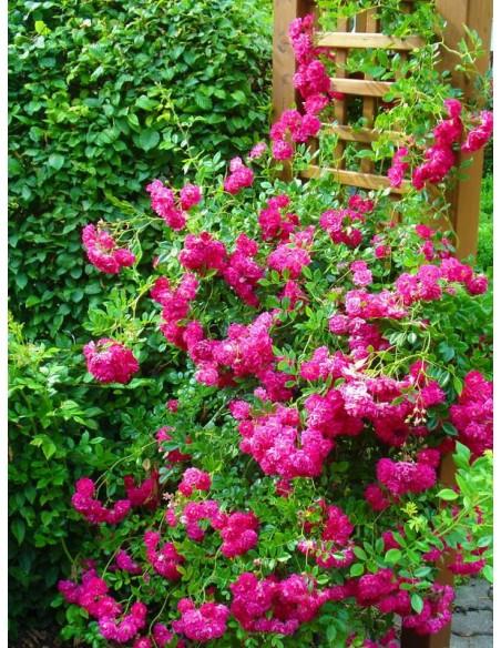 czerwone róże pnące Super Excelsa