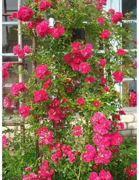róże pnące Super Excelsa czerwone