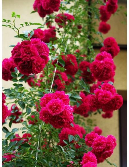 czerwone roze pnace Super Excelsa