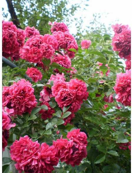 Super Excelsa czerwone róże pnące
