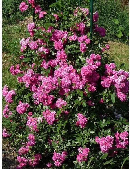 różowe róże pnące Super Dorothy