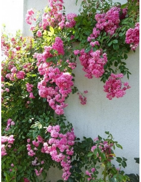 Super Dorothy różowe roze pnace
